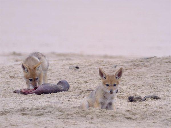 Unos zorros se aproximan al cadáver de una cría de lobo marino en Pelican Point, Namibia el 27 de octubre de 2020. EFE/Ocean Conservation Namibia/ Naude Dreyer