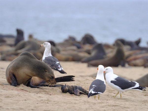 Uno lobo marino y su cría son vistos en la playa de Pelican Point, Namibia el 27 de octubre de 2020. EFE/Ocean Conservation Namibia/ Naude Dreyer