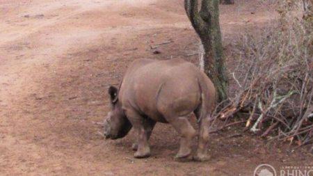 Bebé rinoceronte que recibió disparos de cazadores furtivos se recupera y vuelve a la naturaleza