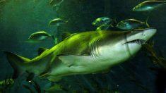 Tiburón nodriza muerde a hombre en EE.UU. sin soltarlo durante 15 minutos