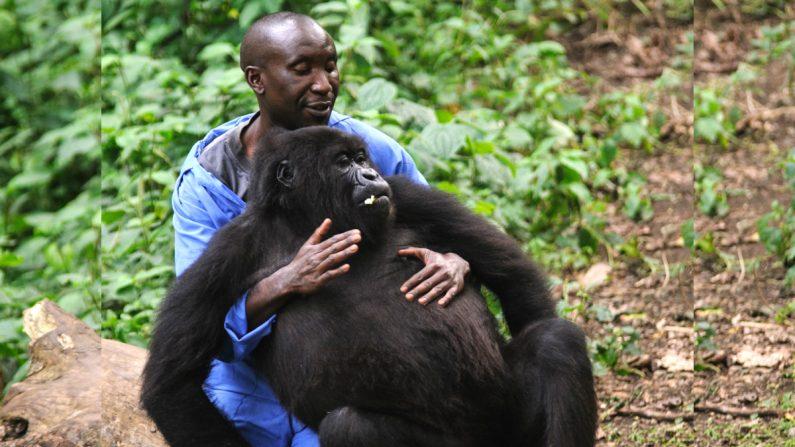 Andre Bahuma, guardaparque del Parque Nacional de Virunga, juega con un gorila de montaña huérfana en el santuario de los gorilas al este de la República Democrática del Congo, el 17 de julio de 2012. (PHIL MOORE/AFP/GettyImages)