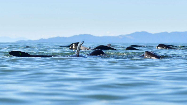 Esta foto tomada el 11 de febrero de 2017 muestra a las ballenas piloto después de haber sido guiados a aguas más profundas tras un varamiento masivo en Farewell Spit, Nueva Zelanda. (MARTY MELVILLE/AFP a través de Getty Images)