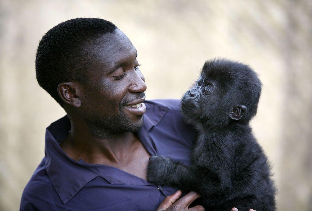 Foto de gorila huérfana aferrada a su cuidador como si fuera su madre  conmueve al mundo | Gorilas | Congo | Parque Nacional | The Epoch Times en  español