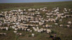 Brote de brucelosis en China empeora a medida que la enfermedad se extiende a las granjas