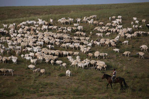 Un pastor cuida ovejas en Xilinhot, en la Región Autónoma de Mongolia Interior (China), el 8 de agosto de 2006. Xilinhot, situada en el centro de la pradera de Xilin Gol, una de las mayores praderas de China, es el centro económico y cultural de la Liga de Xilin Gol, una base de producción ganadera del norte de China. Como la pradera de Xilin Gol ha sufrido un grave deterioro de la arena y la desertificación, el gobierno ha puesto en marcha un proyecto para salvar la pradera, que encierra tierras de pastoreo y reubica a los pastores y el ganado de la pradera, según los medios de comunicación estatales. (Fotos de China/Getty Images)