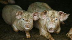 Situación de la peste porcina africana en China es un reto constante, pero PCCh trata de minimizarla