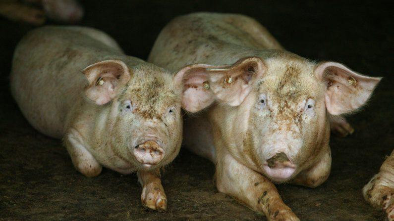 Dos cerdos buscan comida en la pocilga de un granjero el 24 de julio de 2007 en Nanjing, en la provincia china de Jiangsu. (China Photos/Getty Images)