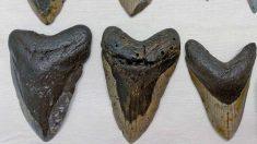 Buceadora encuentra dientes de un tiburón megalodon de 15 millones de años de antigüedad