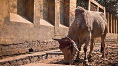Valiente niño enfrenta a un toro para rescatar a su abuela embestida: no dudó ni un segundo