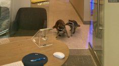 Cómo un par de mapaches (probablemente) irrumpieron en un banco