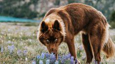 Raro Husky siberiano color marrón y llamativos ojos azules se confunde con un lobo