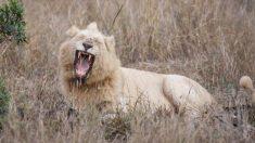 Fotógrafo de vida silvestre captura una imagen extremadamente rara de un león blanco en la selva