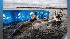 """Capturan y etiquetan a enorme tiburón blanco hembra de 50 años apodada """"Reina del Océano"""""""