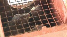 Miles de visones mueren por brotes de COVID-19 en granjas de peletería de EE. UU.