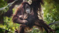 Zoológico del Reino Unido recibe sorpresivamente a un bebé orangután