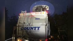 Trabajadores de saneamiento encuentran a un oso negro vivo sobre un camión de basura buscando comida