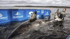 Investigadores oceánicos identifican un enorme tiburón blanco de 50 años en Nueva Escocia