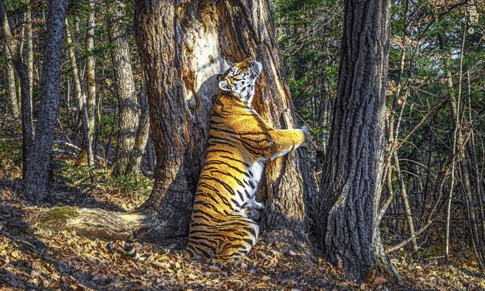 Impresionante fotografía de tigresa abrazando un árbol gana premio al fotógrafo de vida silvestre del año 2020