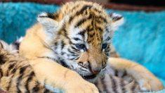 """Pareja compra """"gato de Savannah"""" por USD 7000 que resulta ser un cachorro de tigre de Sumatra"""