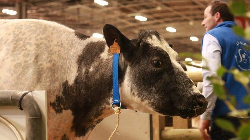 Fotógrafo captura el momento en que 2 vacas consuelan a otra a punto de ser enviada al matadero