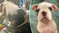 Conozca a este adorable cachorro bulldog que nació con las orejas de Mickey Mouse en su espalda (Fotos)