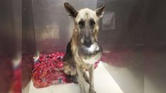 Rescatan a dulce perrita pastor alemán que hace un adorable truco con su tazón para llamar la atención