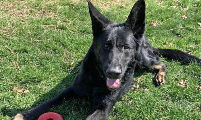 Perro baleado en la cara por su dueño se recupera completamente y ahora tiene un cariñoso nuevo hogar