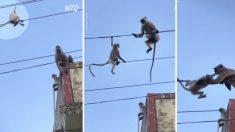 Conmovedor video: Un mono arriesga su vida para salvar a su bebé bloqueado en los cables de alta tensión