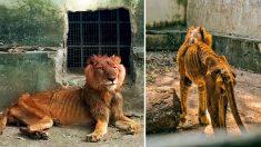 Turista sorprendido reporta un león demacrado y animales hambrientos en horrible zoológico nigeriano