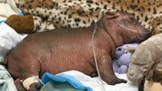 Hipopótamo llamada Fiona que nació prematura alcanza un importante hito antes de su cuarto cumpleaños