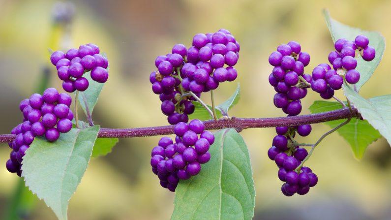 Callicarpa americana o beautyberry. (Daisen Park, Sakai, Osaka. (CC BY-SA 4.0))