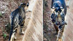 """Captan tigre """"negro"""" extremadamente raro en India, solo existen seis en estado salvaje"""