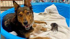 """Perrita rescatada  """"adopta"""" gatitos huérfanos después de perder a sus cachorros prematuros"""