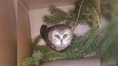 Encuentran a un pequeño búho polizón en el árbol de navidad del Rockefeller Center tras 170 millas de distancia
