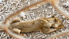 ONG comparte fotos impactantes de animales abandonados en zoológico de África en su esfuerzo por ayudarlos