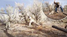 Puma enfurecido atrapado en una trampa gruñe mientras un cazador intenta liberarlo
