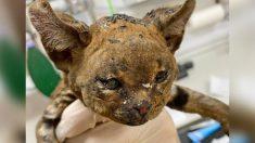 """Pequeño """"Gato de fuego"""" quemado en una hoguera es adoptado por enfermera que le salvó la vida"""