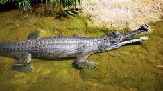 Foto de un cocodrilo gharial papá con más de 100 crías en su espalda brinda una esperanza a su especie