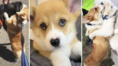 Perrito corgi con nariz en forma de corazón abraza a todos los perros que se encuentra en sus paseos