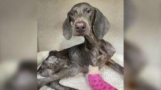 Refugio de perros en Houston rescata a un desnutrido y demacrado perro en un estacionamiento