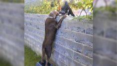 Perro visita a sus nuevos vecinos de al  lado sobre la cerca con la ayuda de un taburete