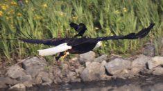 Fotógrafo captura a un mirlo de alas rojas viajando sobre el lomo de un águila calva