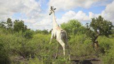 Última jirafa blanca del mundo ahora tiene rastreador GPS para protegerla de los cazadores en Kenia