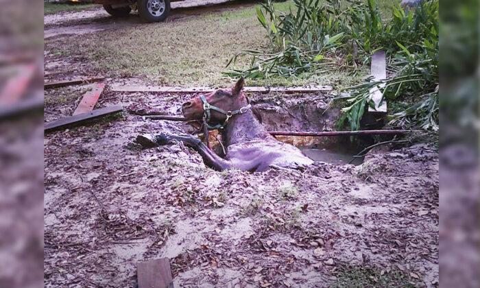 Bomberos de Florida rescatan a un caballo de 40 años que cayó en una fosa séptica