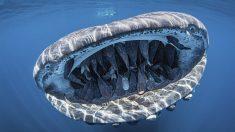 """Foto de tiburón ballena """"sonriendo"""" con la boca llena de simpáticas rémoras gana concurso de fotografía"""