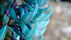Flor de Jade: Una exótica decoración celestial que puede disfrutar en su jardín