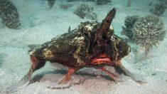 """Buceador captura imágenes de extraño pez murciélago """"caminando"""" en el fondo del océano en el Caribe"""