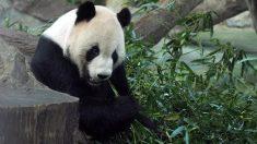 Muere a los 38 años la osa panda en cautividad más vieja del mundo