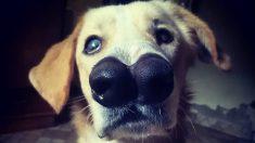 """Perrito con hocico leporino """"trabaja"""" en un refugio de animales ayudando a otros cachorros enfermos"""