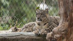 EE.UU. reporta el primer positivo de covid-19 de un leopardo de las nieves